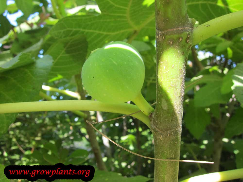 Fig tree fruit