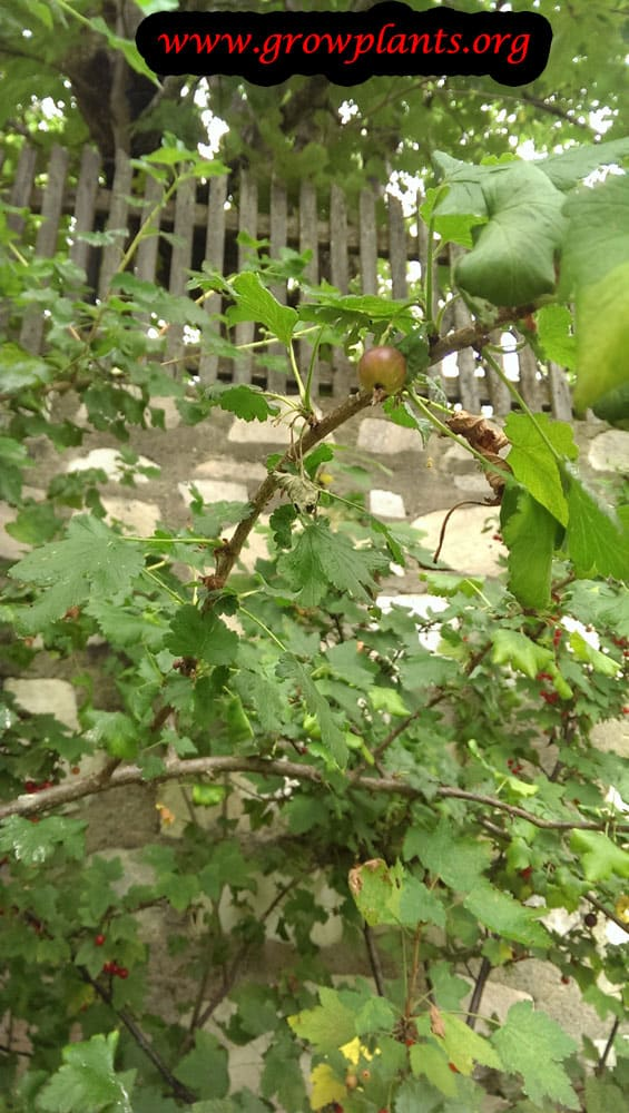 Growing Gooseberry plant