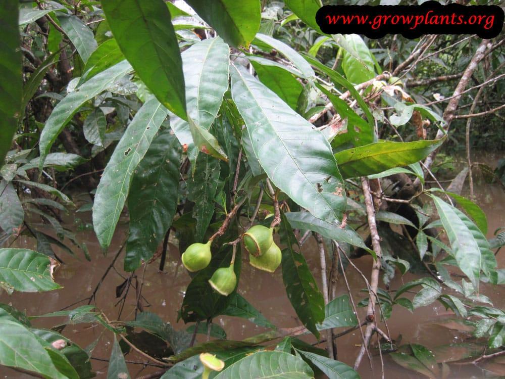 Gustavia superba plant