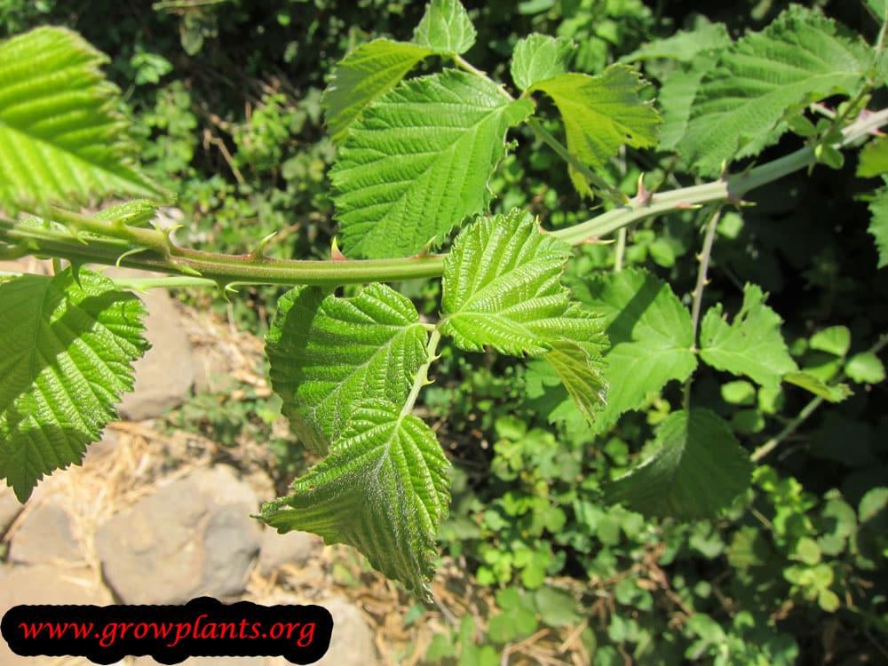 Holy bramble leaves