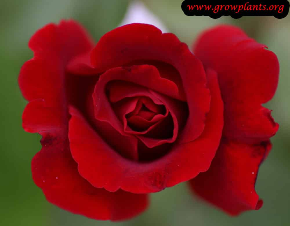 Hybrid tea rose red flower