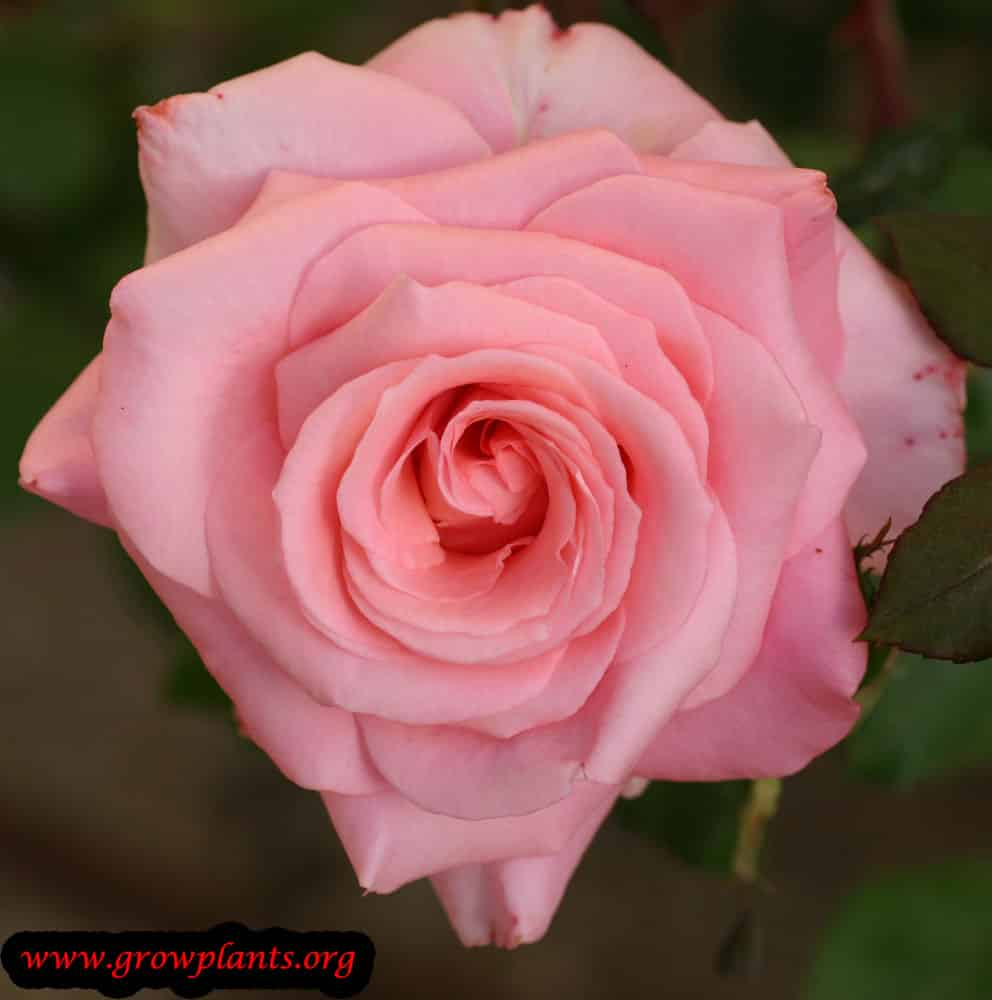Hybrid tea rose pink flower