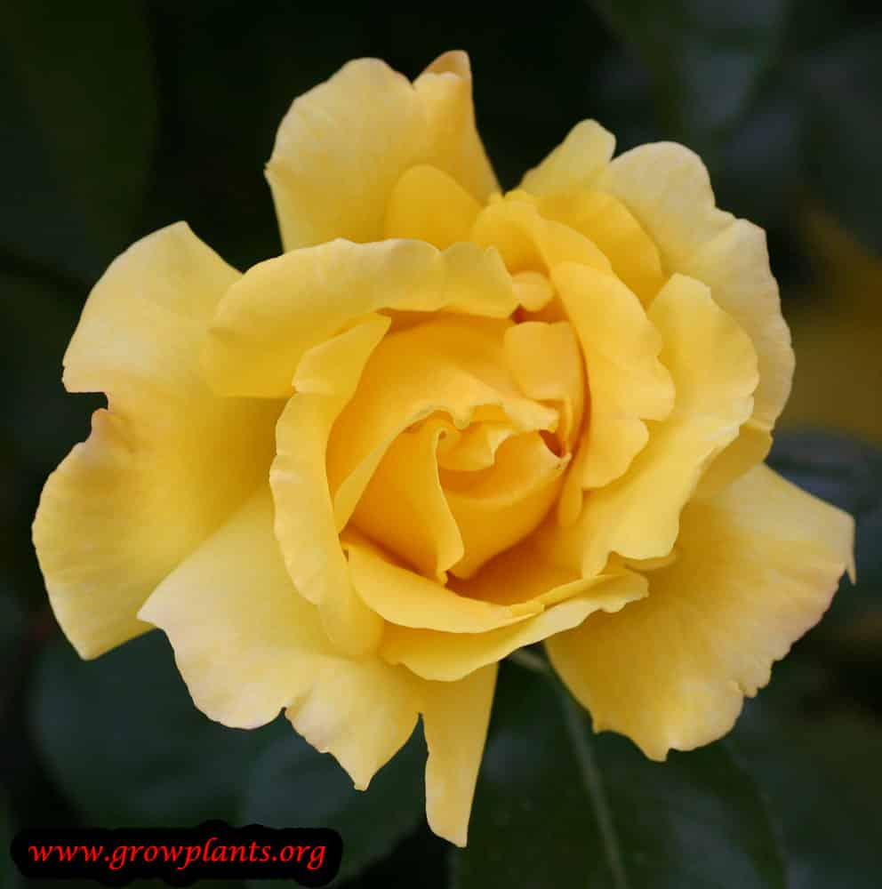 Hybrid tea rose yellow flower