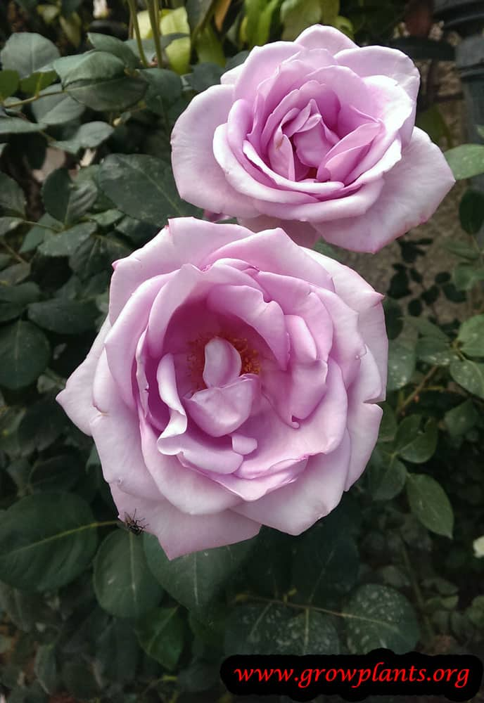 Hybrid tea rose grow and care