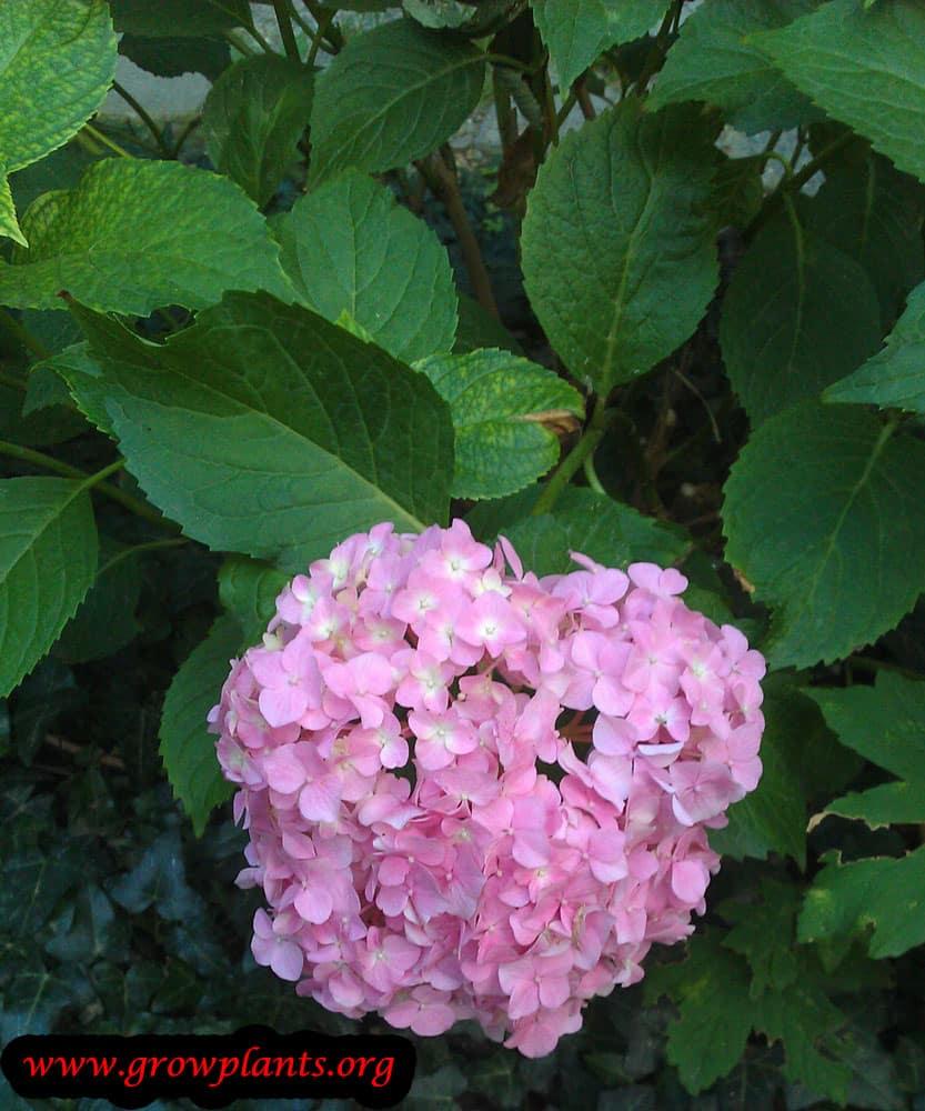 Hydrangea macrophylla beauty flowers