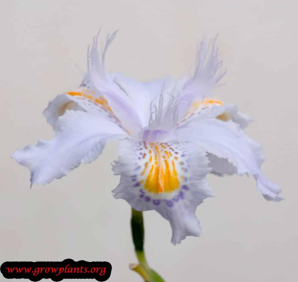 Iris japonica plant care