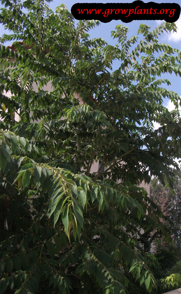 Jamaican cherry tree care