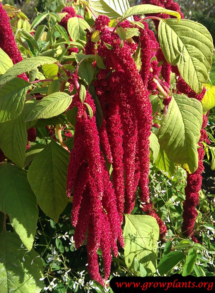 Growing Love Lies Bleeding Amaranth