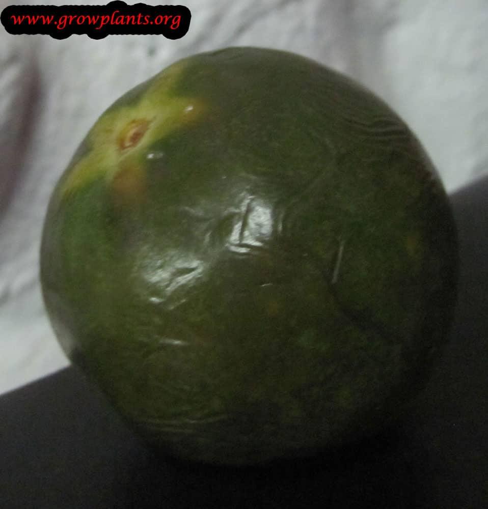 Lucuma tree fruits