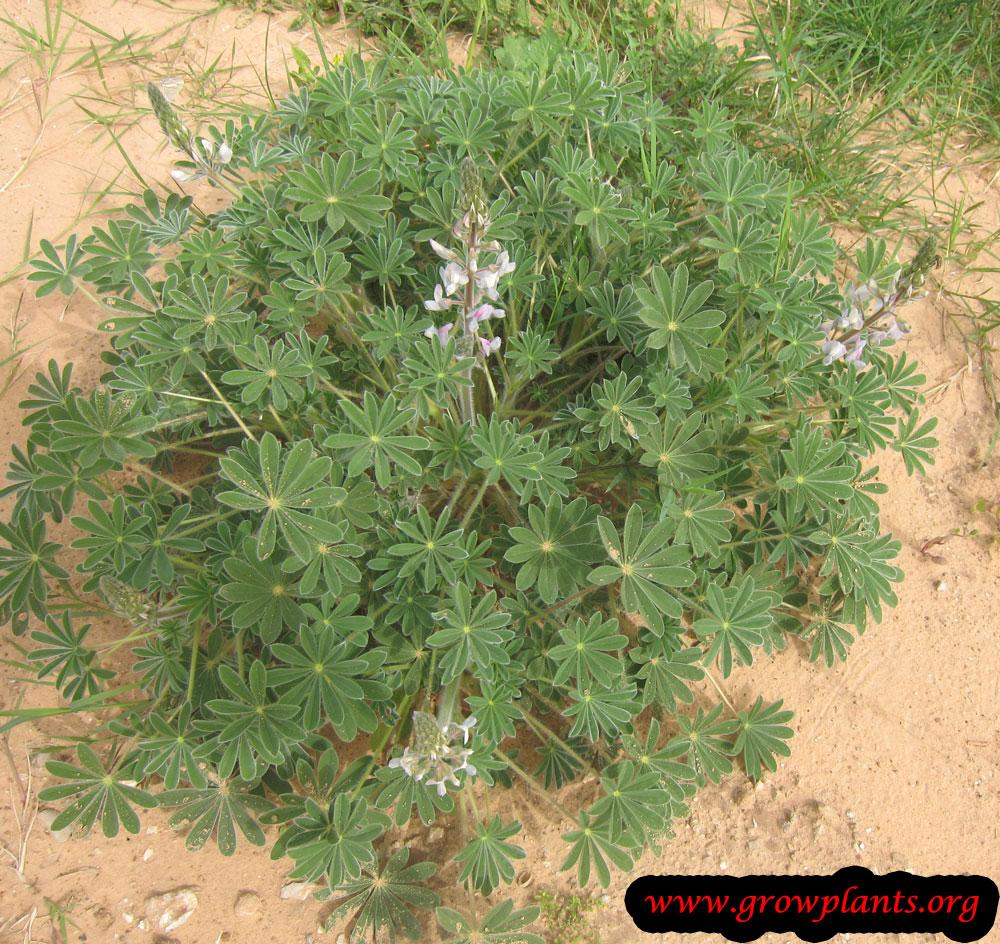Lupinus albus plant care