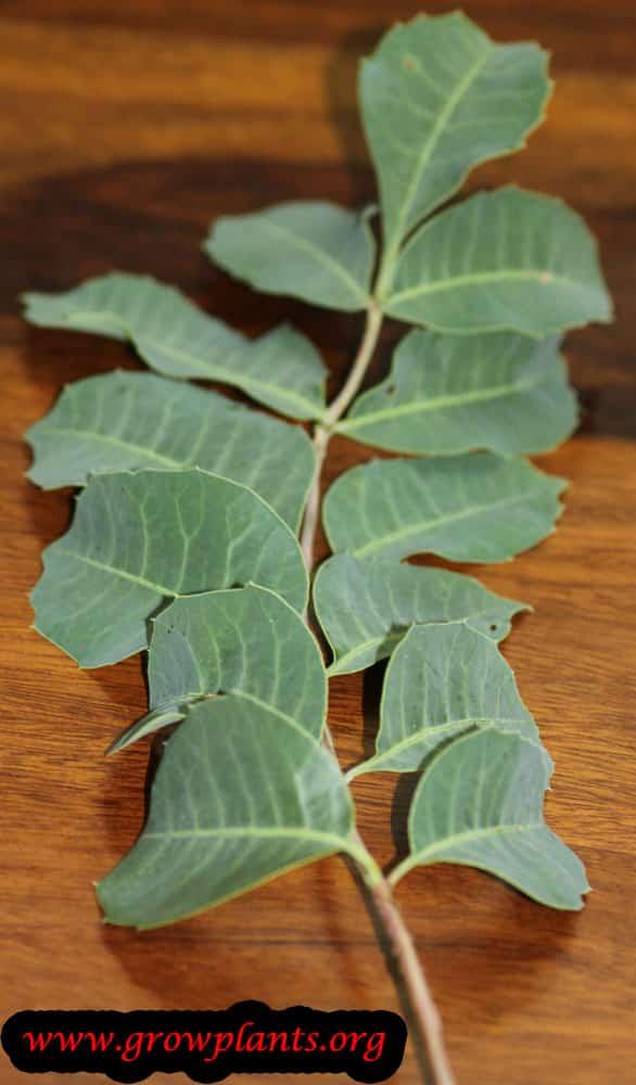 Marula leaves