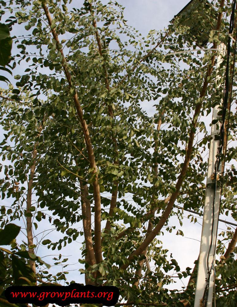 Growing Marula