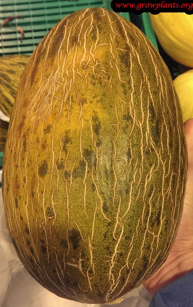 Harvesting Melon plant
