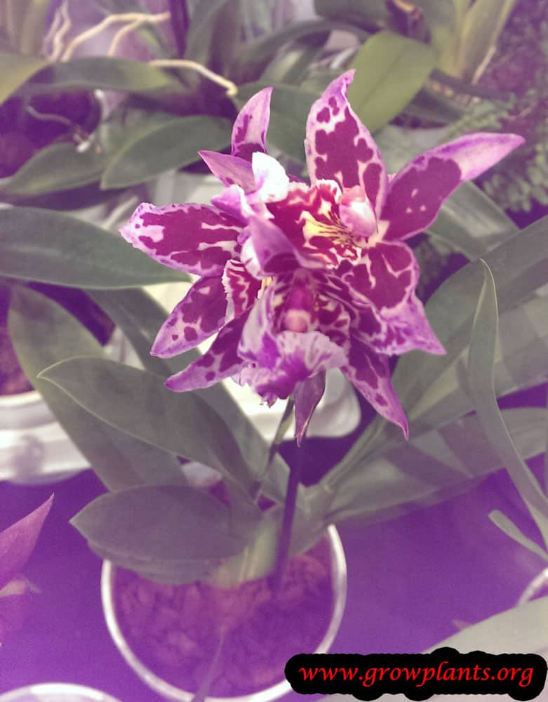 Growing Miltonia