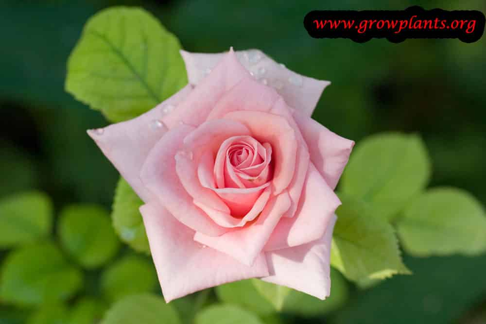 Growing Pink miniature Rose