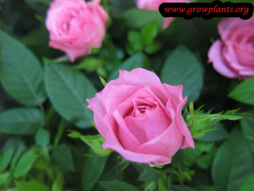 Pink Miniature rose