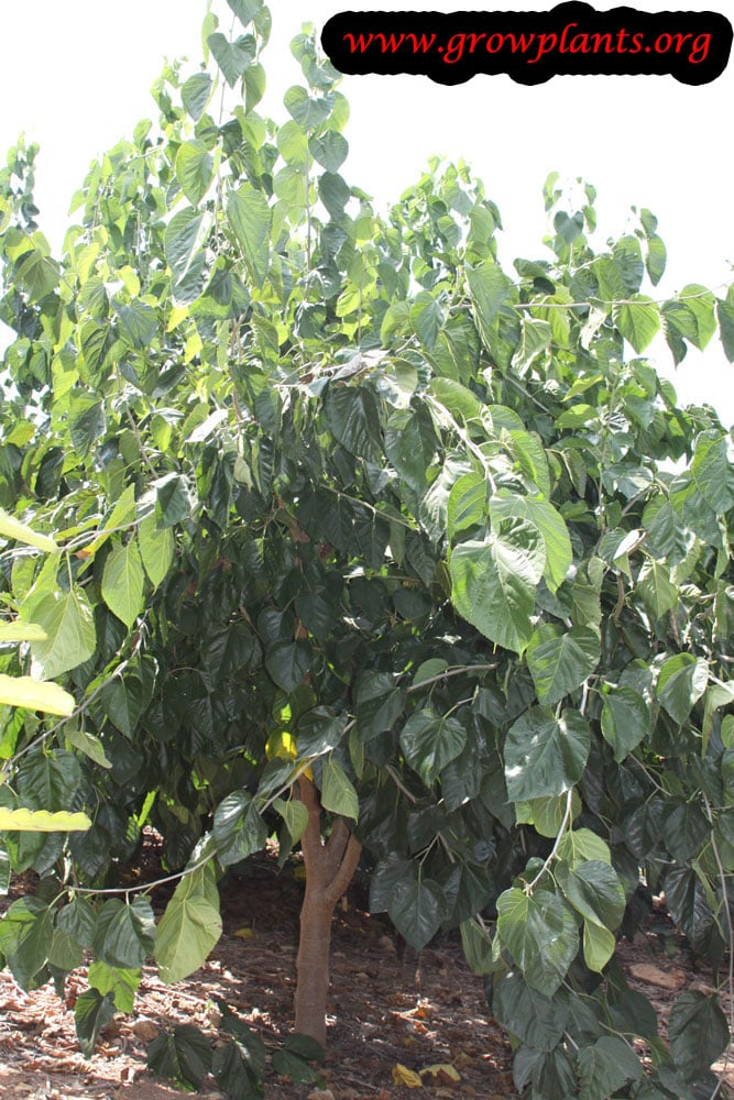 Morus macroura tree