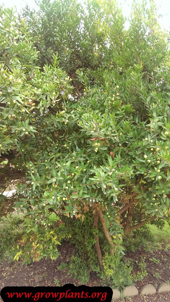 Growing Myrtus communis plant