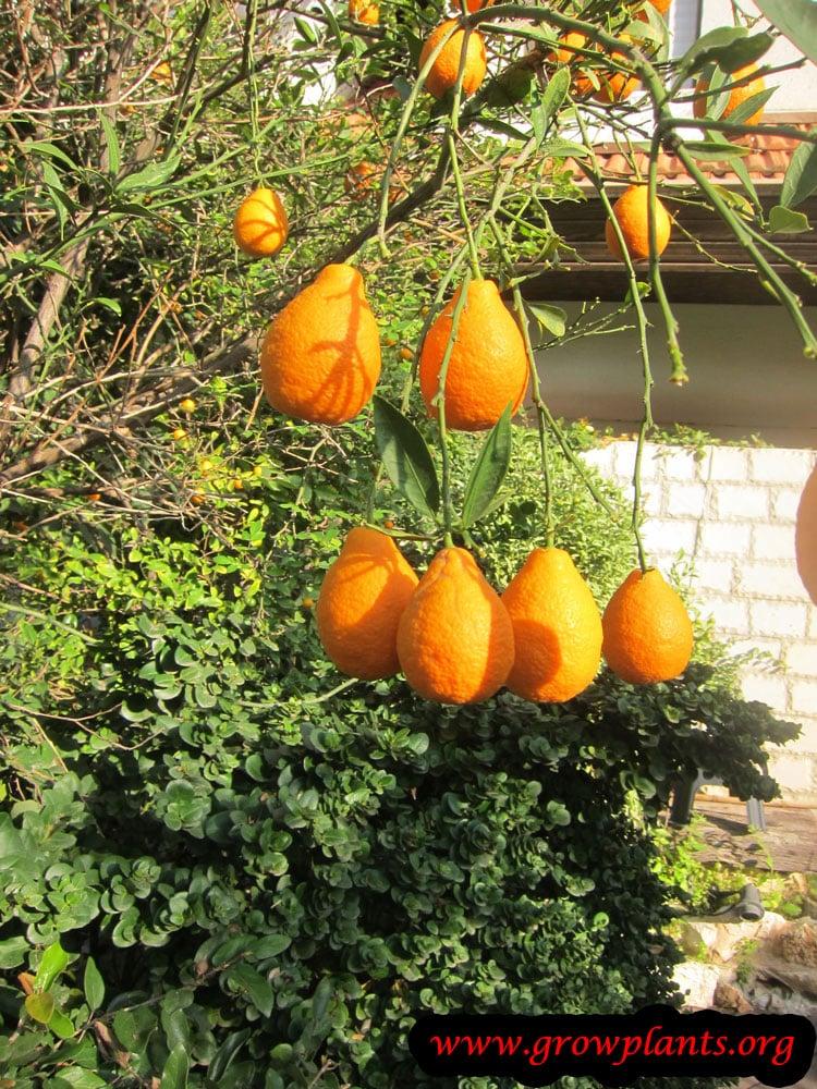 Orangequat