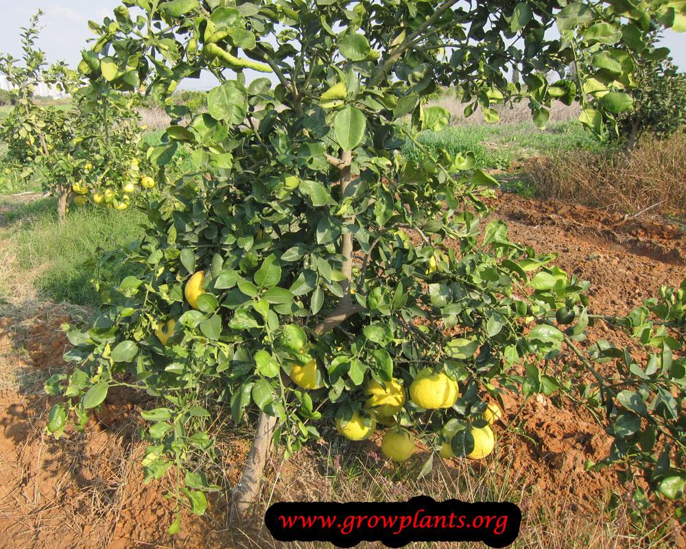 Oroblanco tree care