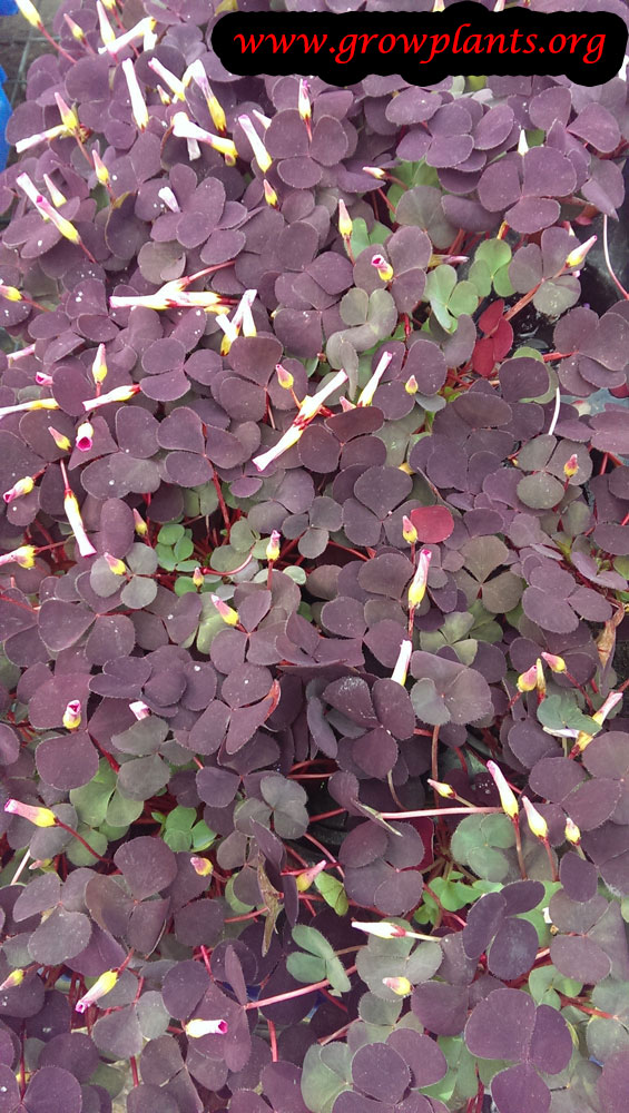 Oxalis plants groundcover