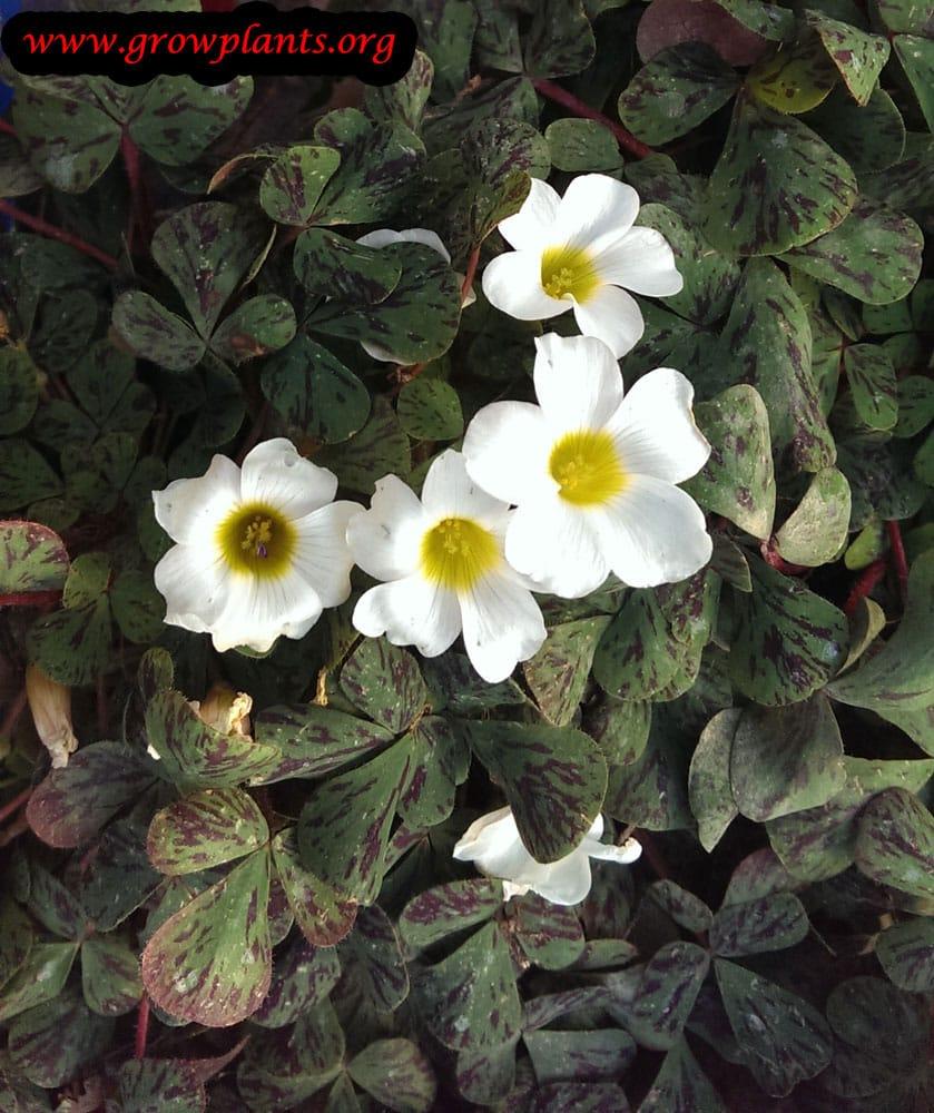 White Oxalis plant care