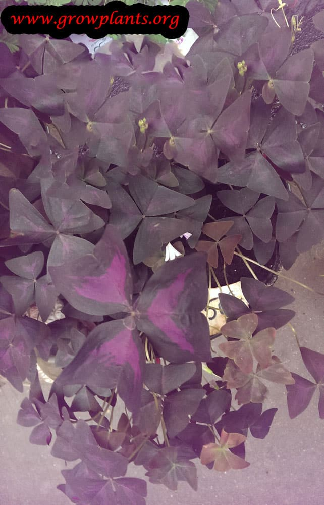 Growing Oxalis triangularis