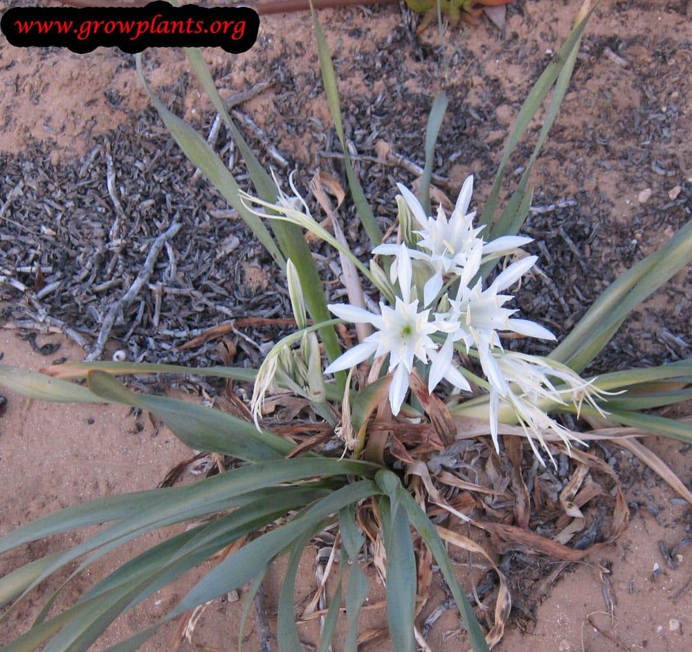 Pancratium maritimum plant for cut flower