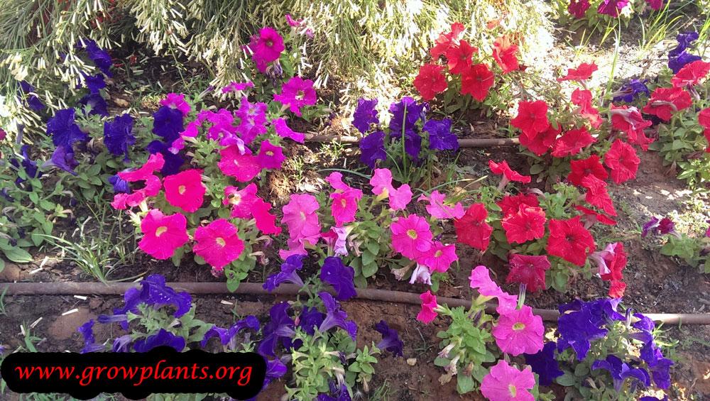 Petunia plant care