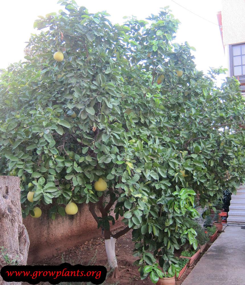 Pomelo tree care