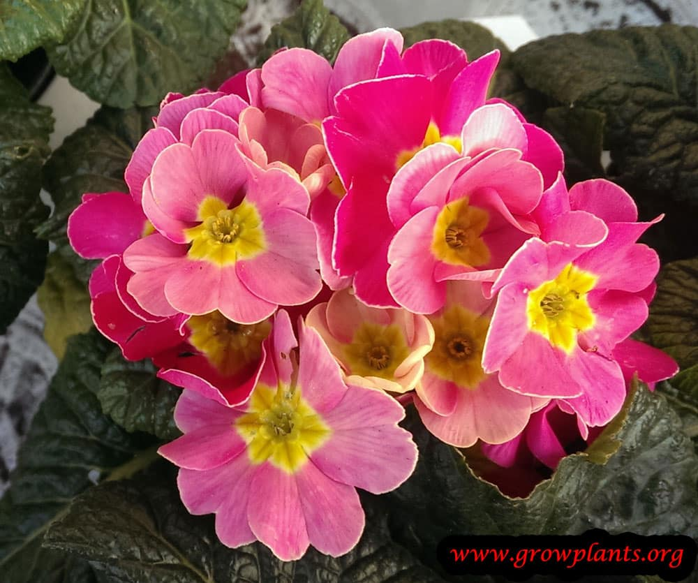 Garden Primrose plant