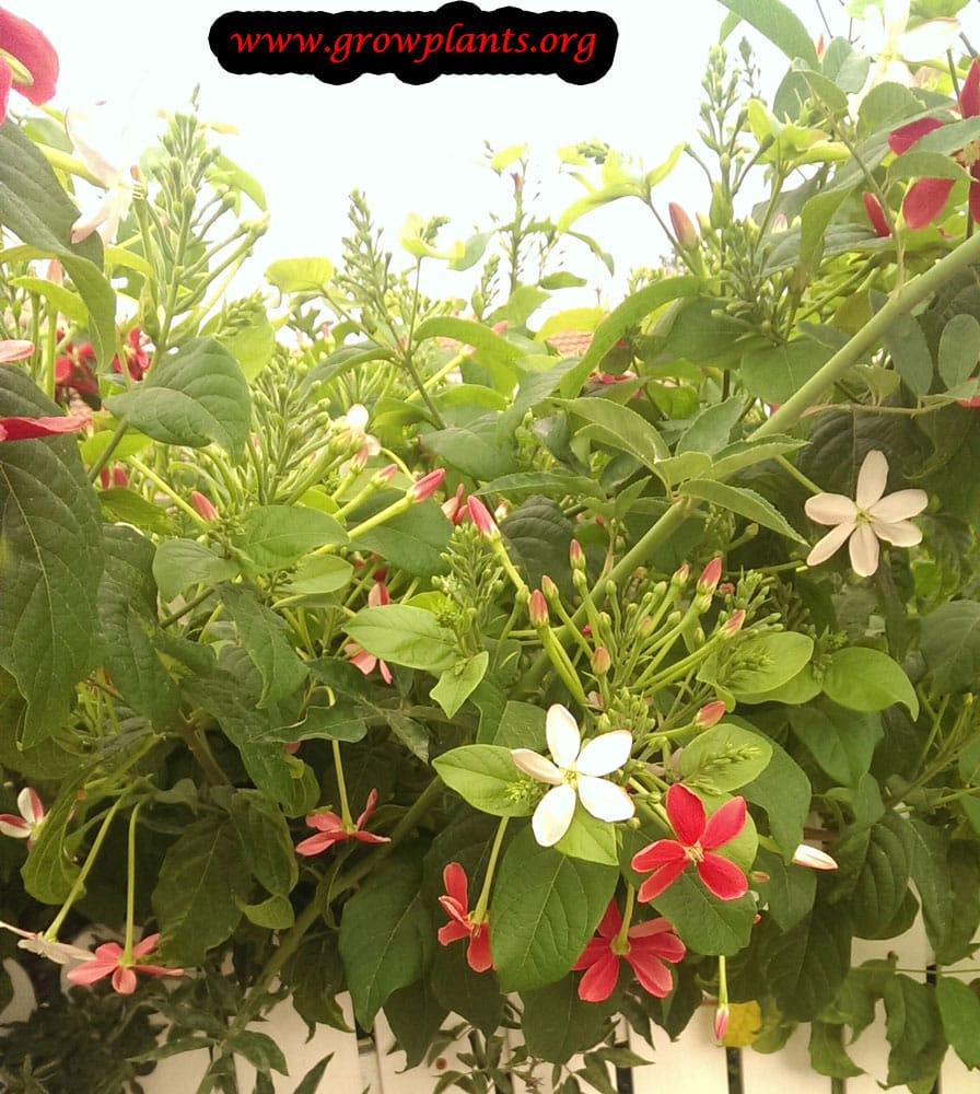 Rangoon creeper plant care