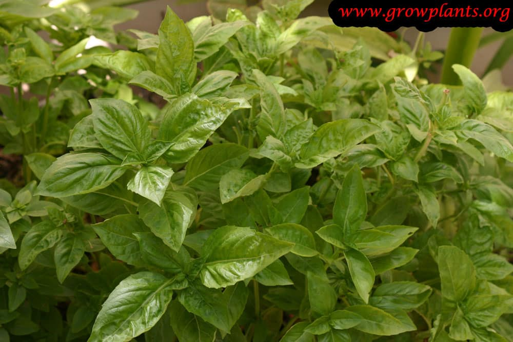 Sweet basil plant care