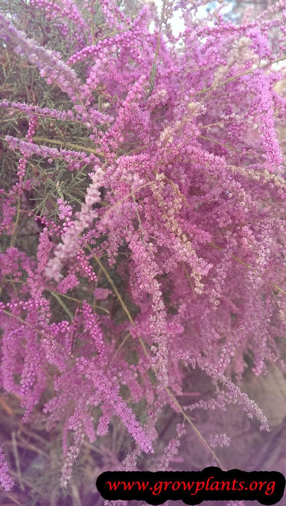 Tamarix flowers