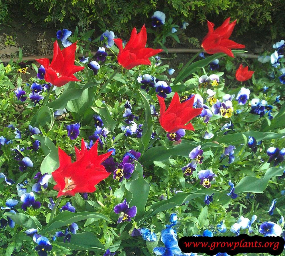 Tulip lily