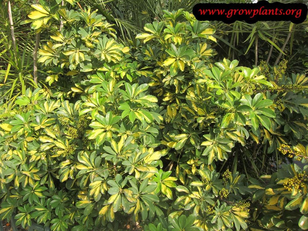 Umbrella plant varigate