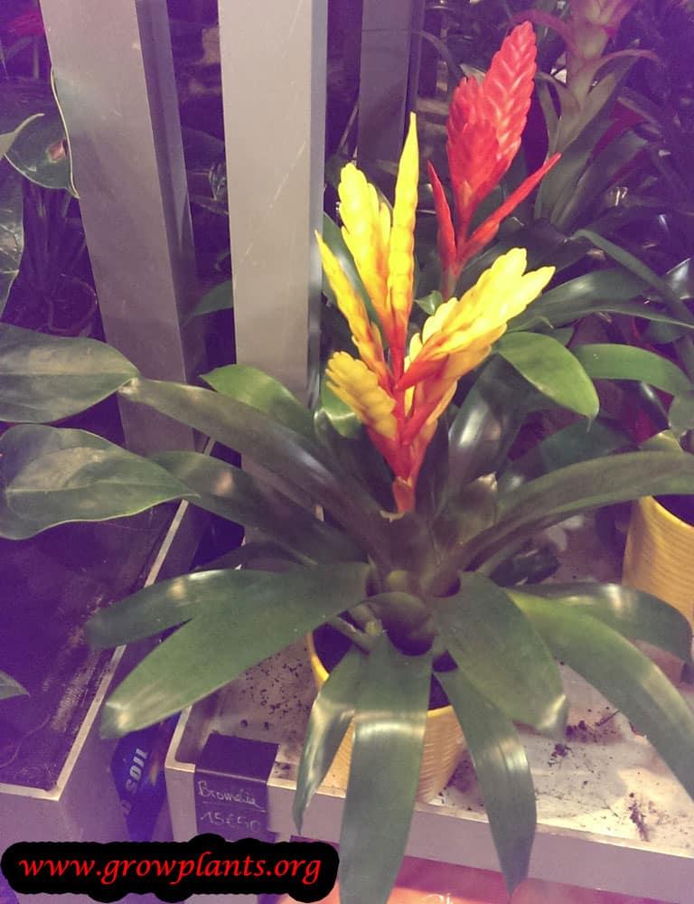 Growing Vriesea plant