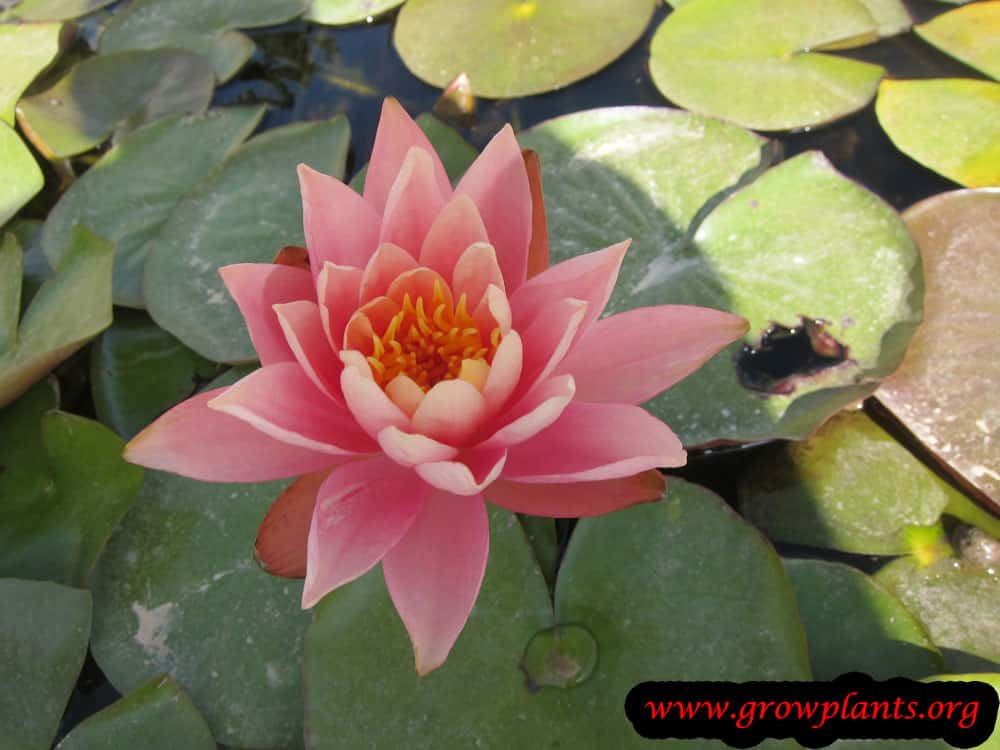 Pink Water lily plant