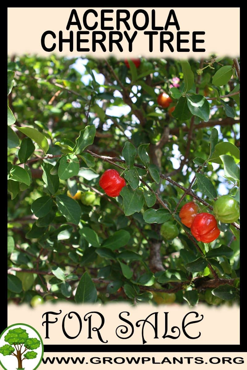 Acerola cherry tree for sale