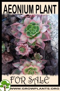 Aeonium for sale