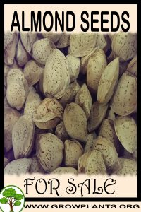 Almond seeds for sale