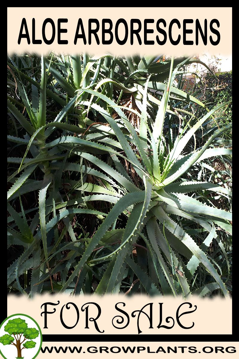 Aloe arborescens for sale
