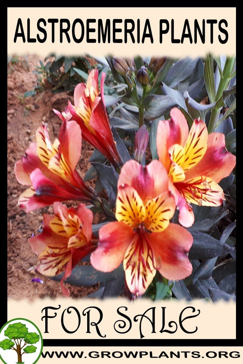 Alstroemeria plants for sale
