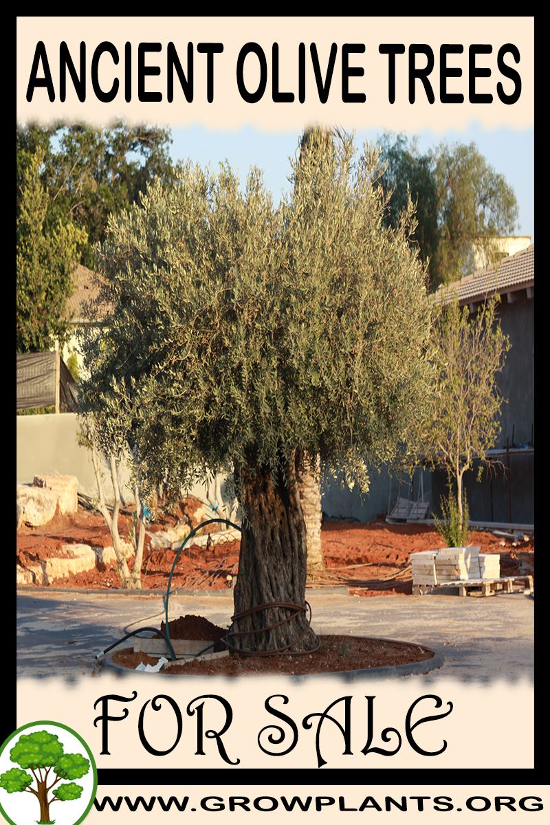 Ancient Olive trees for sale