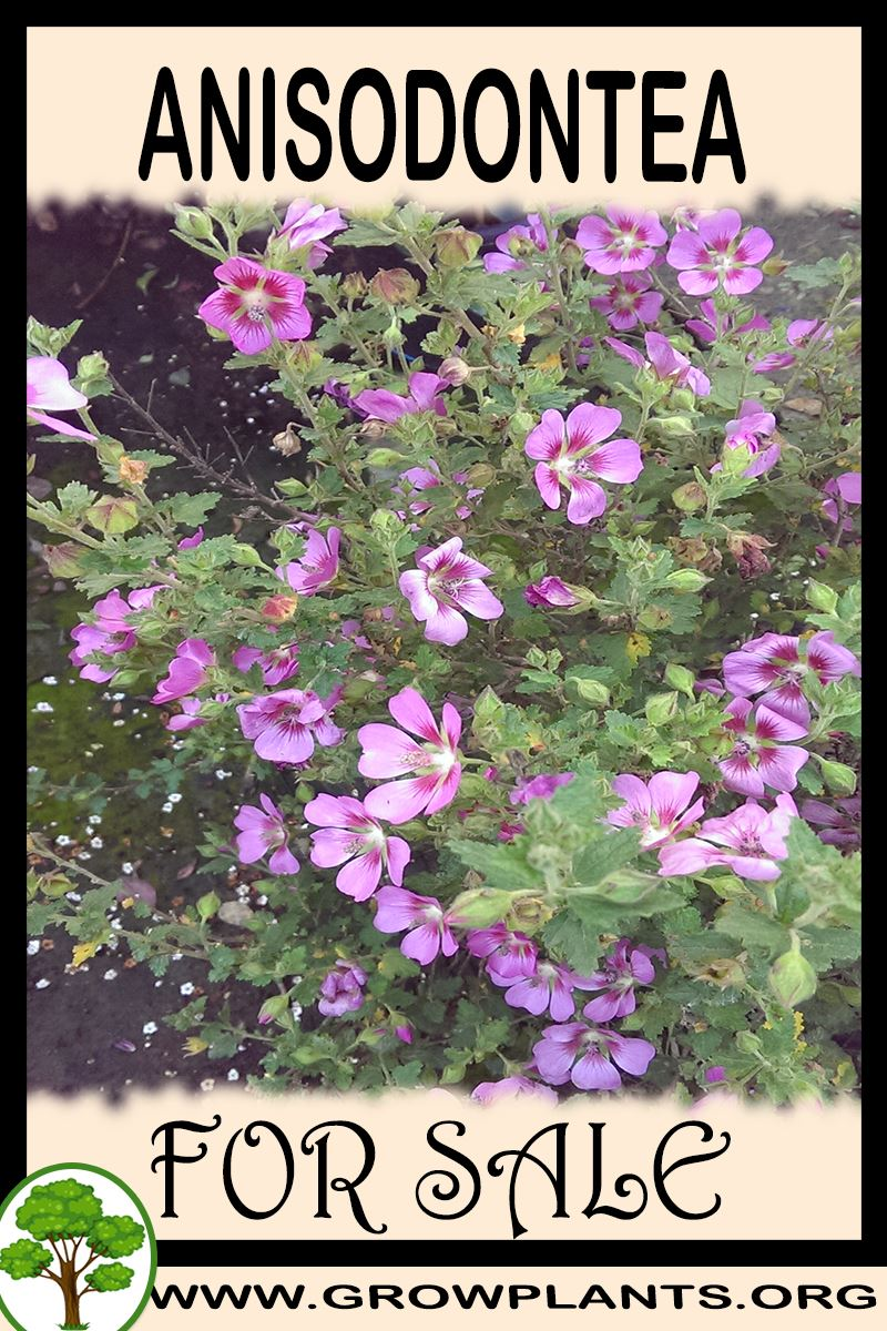 Anisodontea for sale