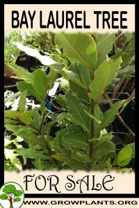 Bay laurel tree for sale