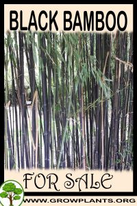Black bamboo for sale