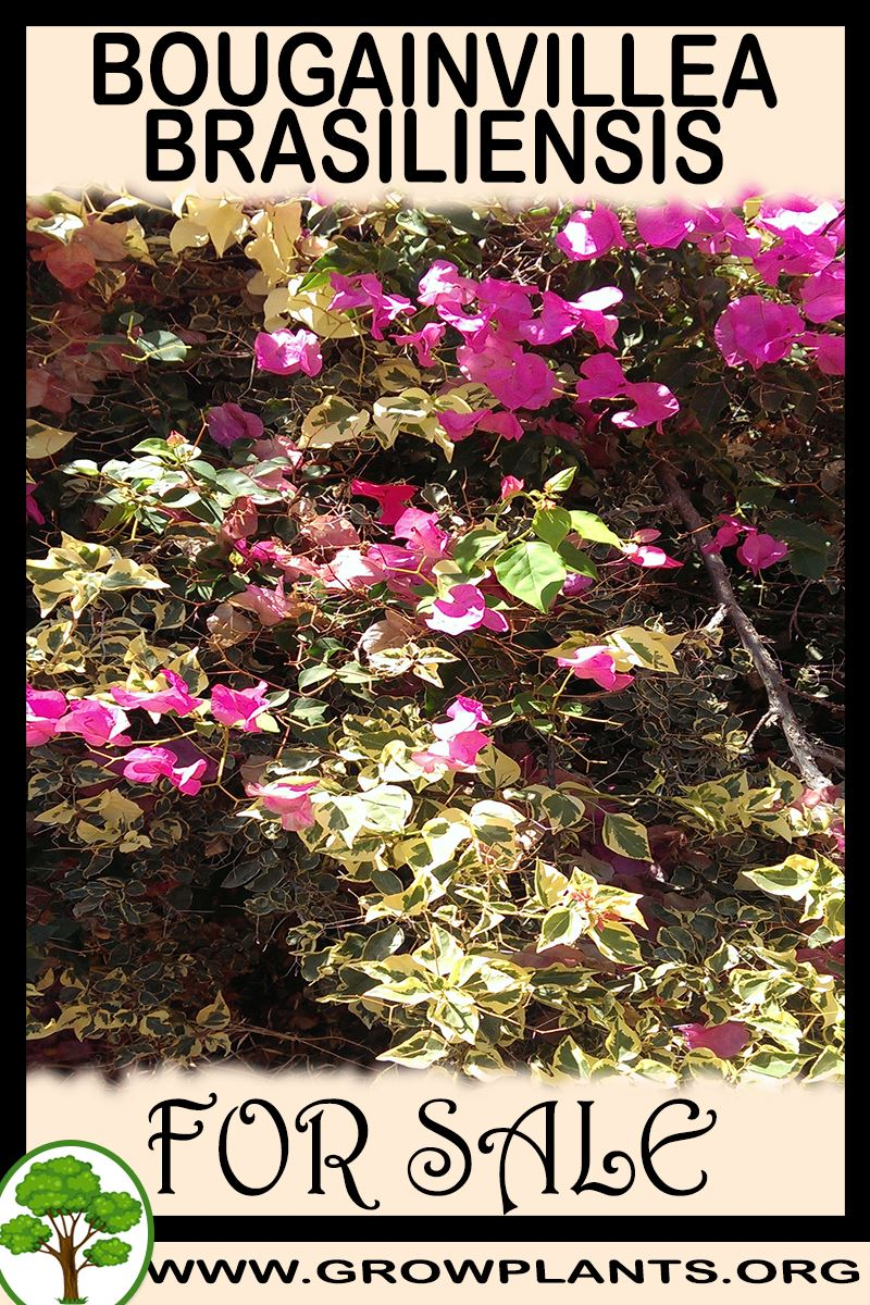 Bougainvillea brasiliensis for sale