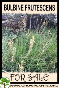 Bulbine frutescens for sale
