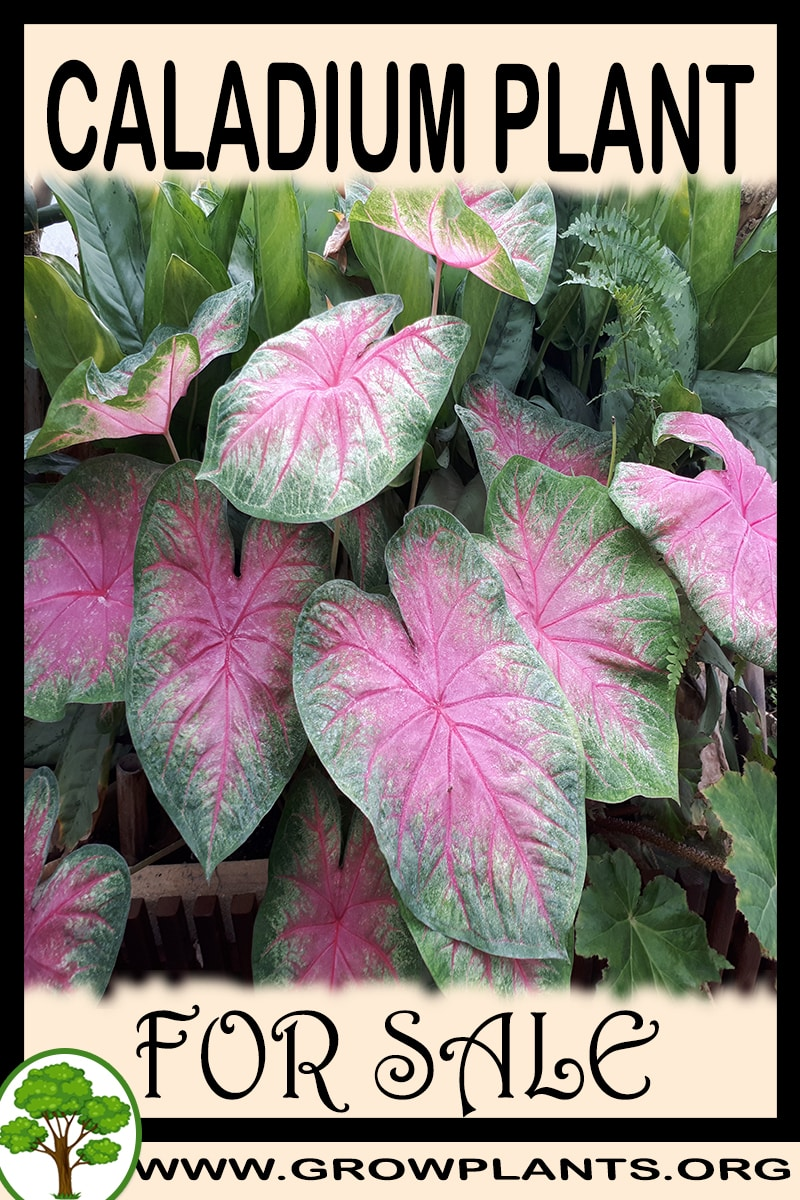 Caladium for sale